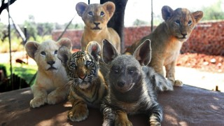 Baby lions, baby tiger & baby hyena cub friends