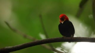How it Evolved: the Red-capped Manakin