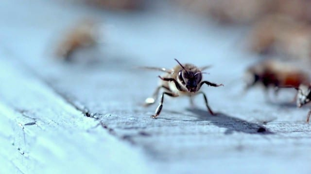 Dance of the Honey Bee – A documentary short film