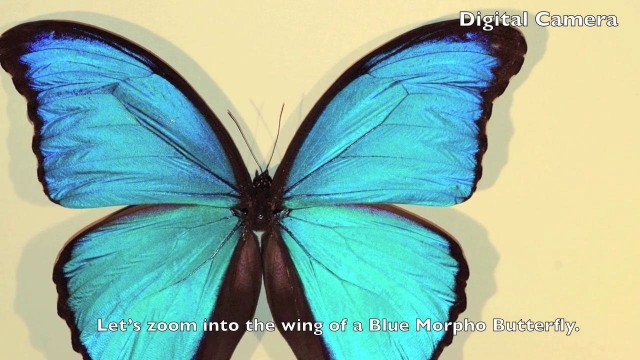Zoom into a Blue Morpho Butterfly