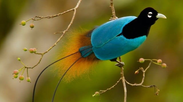 The Cornell Lab of Ornithology's Birds of Paradise project
