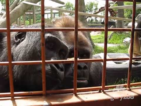 Gorillas watch a fuzzy caterpillar