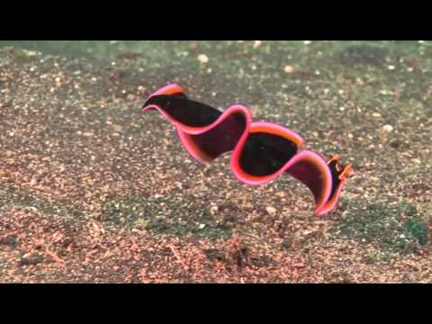 Brightly colored flatworm filmed in the waters of Sulawesi, Indonesia