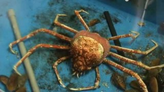 Molting Japanese spider crab time lapse – Enoshima Aquarium
