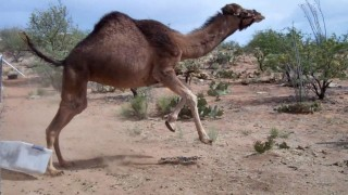 Camels and Friends: Nessie and Baby in Arizona