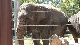 Shanthi, the National Zoo's Musical Elephant, Plays the Harmonica