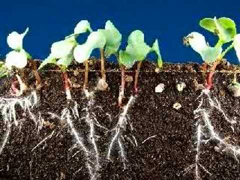 Time lapse radish seeds sprouting