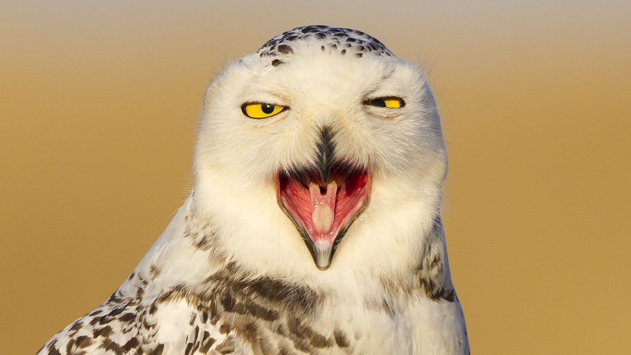Snowy Owl Invasion | The Kid Should See This - photo#5