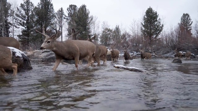 An annual mule deer migration you have to see to believe