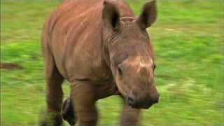 Running with a recovering baby rhinoceros