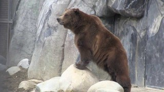 Grizzly Bears vs Campsite