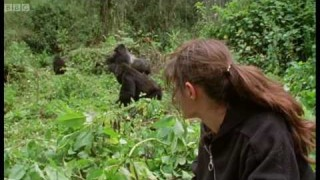 Dr Charlotte Uhlenbroek meets a family of mountain gorillas