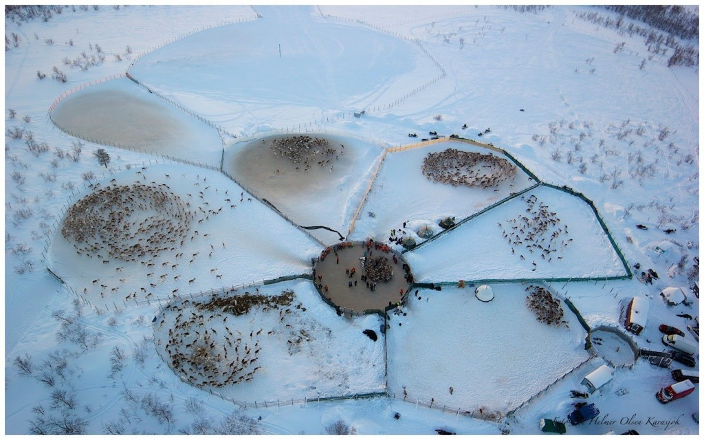 reindeer herds observed by drone