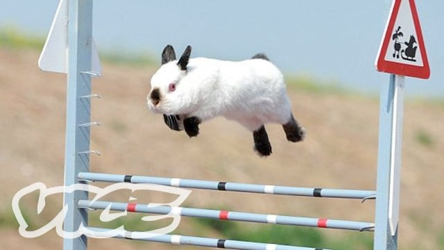 The Bunny Jumping Competition at the Rabbit Grand National