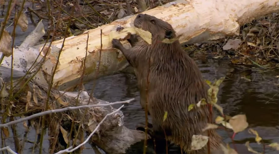 beaver chewing wood