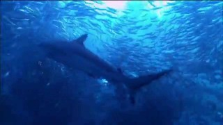 The Gathering Swarms: Sardine Run off the coast of South Africa