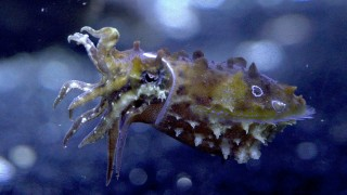 Caring for Cuttlefish –Science Friday