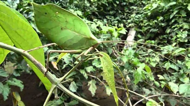 Leaf Mimic Katydids: Uniquely disguised as dead & diseased leaves