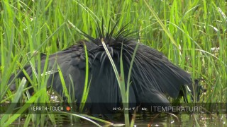 The Black Egret's Umbrella Trick