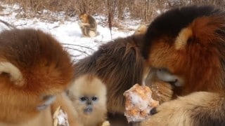Golden snub-nosed monkeys in the snow