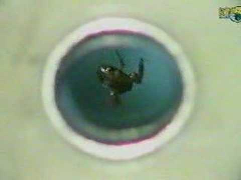 Levitating frogs using magnetic fields