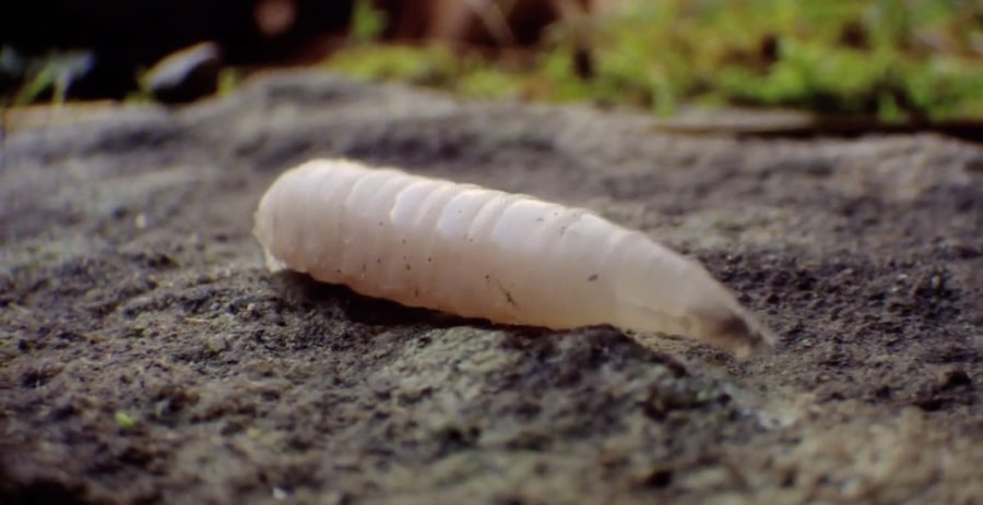 Maggot to Fly Time Lapse Transformation | The Kid Should See