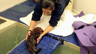 An orphaned sea otter pup is adopted by Chicago's Shedd Aquarium