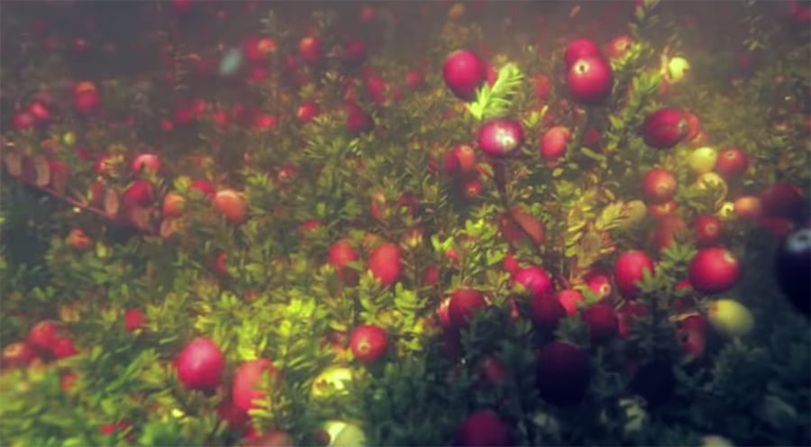 cranberries underwater