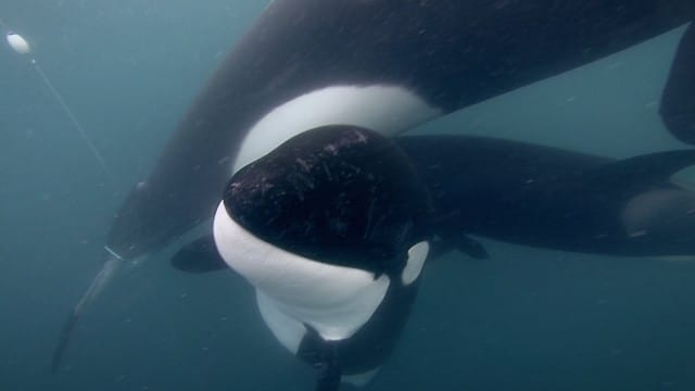 Orca Rescue in 4K: The conservation efforts of Dr. Ingrid Visser