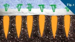 Why do carrots taste sweeter in the winter?