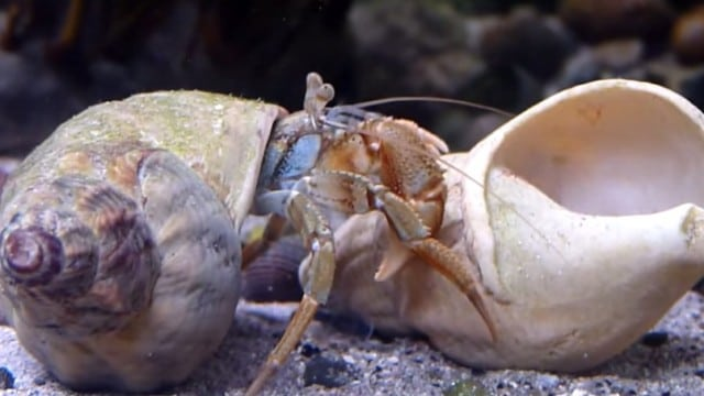 Pagurus Bernhardus hermit crabs change their shells