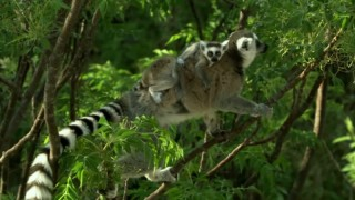 Baby ring tailed lemurs cling to their mother in Madagascar