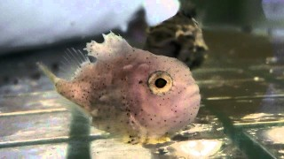 Expressive faces and sticking power – The Lumpsucker Fish
