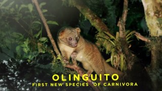 Skull of the Olinguito – AMNH: Shelf Life