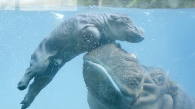 Baby Hippo Makes a Splash at the San Diego Zoo