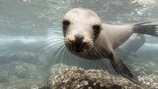 Swimming with the Galápagos Sea Lions of Isla Plaza Sur