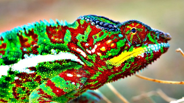 How (and Why) Do Chameleons Change Color? – Veritasium