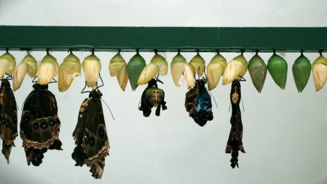 Blue morpho butterflies emerge from their chrysalises