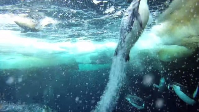 Emperor Penguins Speed Launch Out of the Water