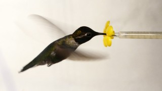 What Happens When You Put a Hummingbird in a Wind Tunnel?