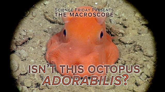 "Studying the deep sea octopus Opisthoteuthis ""Adorabilis"""