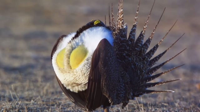 The Greater Sage-Grouse's courtship ritual & The Sagebrush Sea