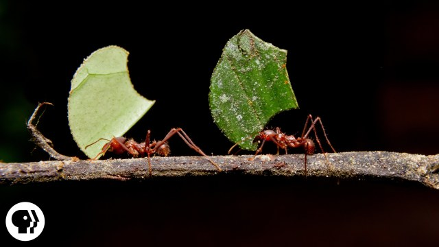 Why do Leafcutter Ants cut leaves and carry them away?