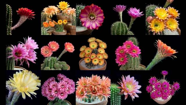 Echinopsis Cacti – Brilliant blooming cactus flowers in time lapse