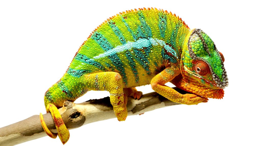 Chameleons Are Amazing National Geographic The Kid