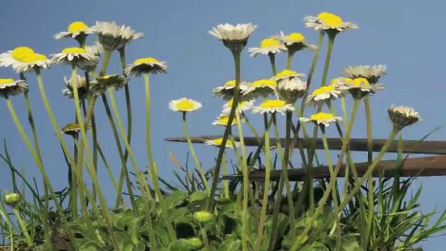 Time lapse summer lawn daisies grow, get cut, & regrow