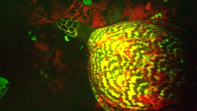 "Discovered! A ""glowing"" biofluorescent hawksbill sea turtle"