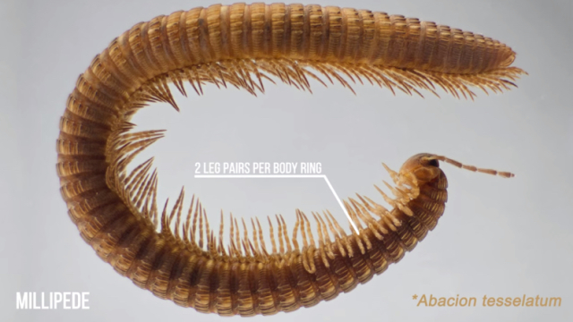 Millipedes, The First Land Animals – The Brain Scoop