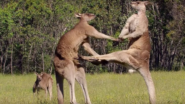 Kangaroo Boxing Fight – BBC Life Story