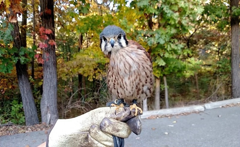 The American Kestrel falcon's head stabilization skills